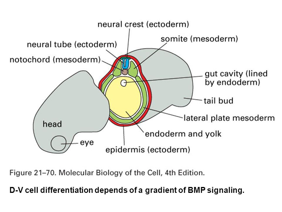 Homeotic genes specify body segment identity in Drosophila.
