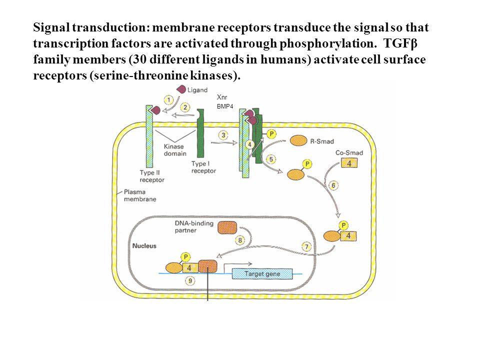 Numb vs Notch: drosophila vs Uomo