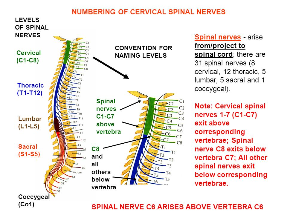 Spinal nerves - arise from/project to spinal cord; there are 31 spinal nerves (8 cervical, 12 thoracic, 5 lumbar, 5 sacral and 1 coccygeal). Note: Cer