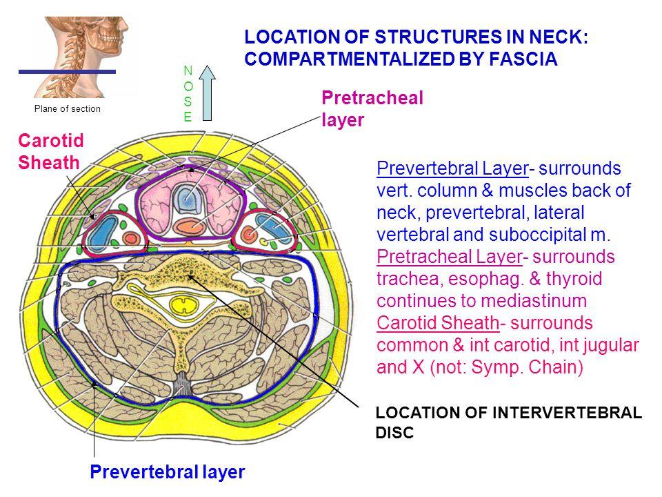 Prevertebral Layer- surrounds vert. column & muscles back of neck, prevertebral, lateral vertebral and suboccipital m. Pretracheal Layer- surrounds tr