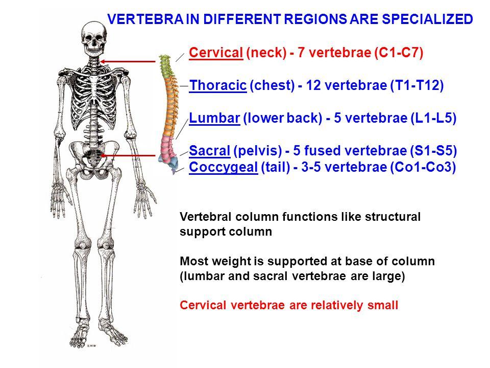 Cervical (neck) - 7 vertebrae (C1-C7) Thoracic (chest) - 12 vertebrae (T1-T12) Lumbar (lower back) - 5 vertebrae (L1-L5) Sacral (pelvis) - 5 fused ver