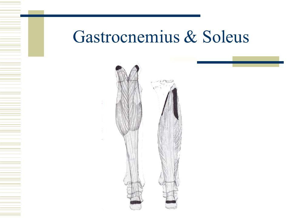 Gastrocnemius & Soleus