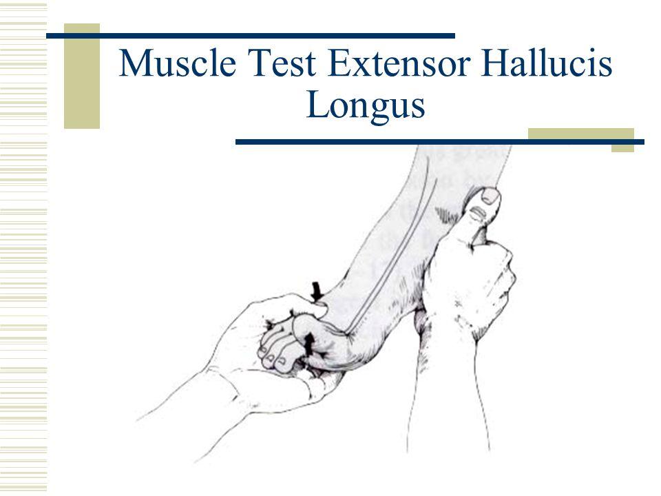 Muscle Test Extensor Hallucis Longus