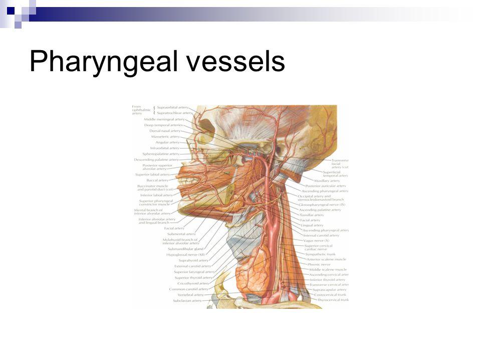 Pharyngeal vessels