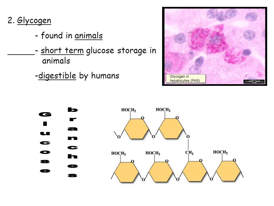 2. Glycogen - found in animals - short term glucose storage in animals -digestible by humans