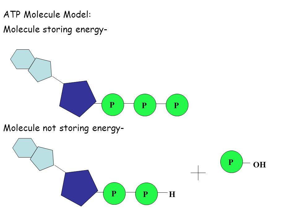 ATP Molecule Model: Molecule storing energy- Molecule not storing energy- P OH P PP P P H