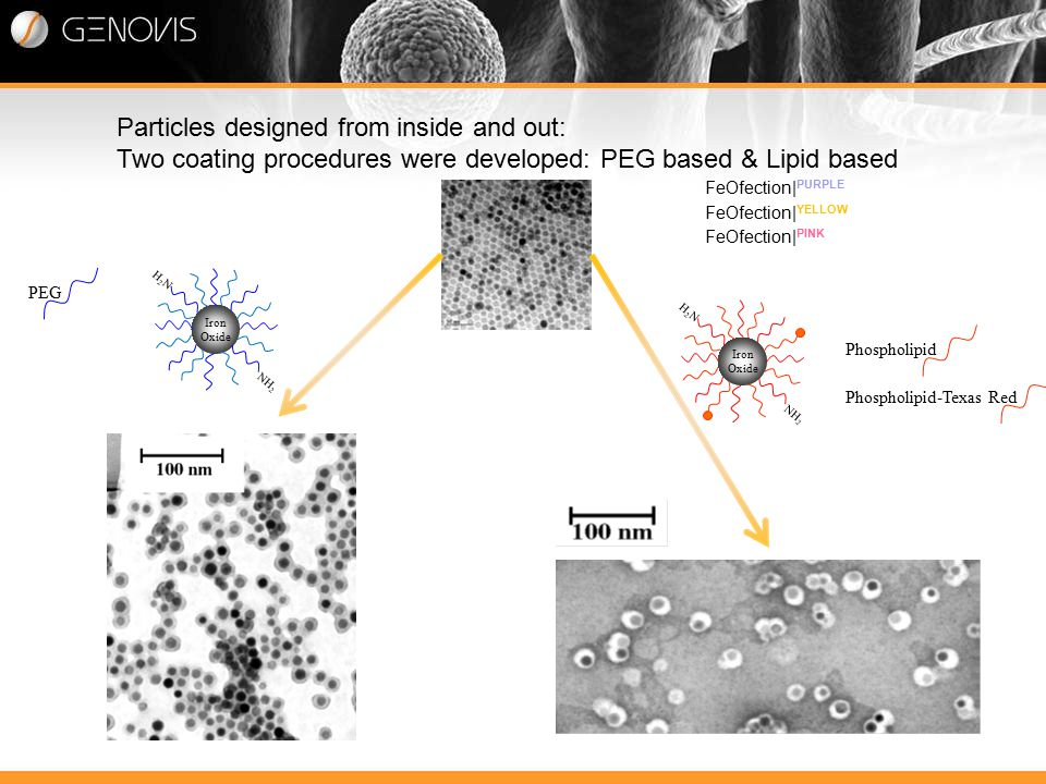 Particles designed from inside and out: Two coating procedures were developed: PEG based & Lipid based Iron Oxide H2NH2N NH 2 PEG Phospholipid Phospholipid-Texas Red Iron Oxide H2NH2N NH 2 FeOfection| PURPLE FeOfection| YELLOW FeOfection| PINK
