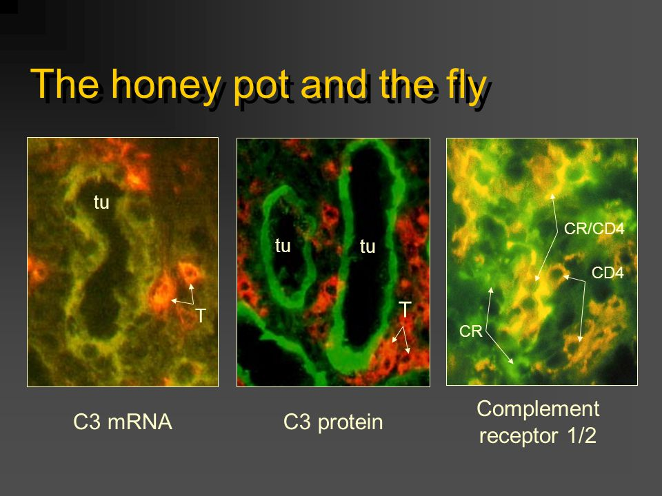 The honey pot and the fly C3 mRNA tu T C3 protein tu T Complement receptor 1/2 CR/CD4 CD4 CR