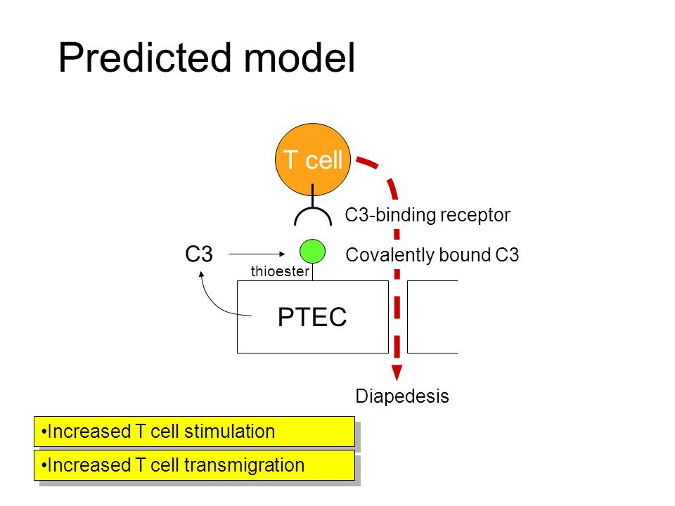 Predicted model C3-binding receptor Covalently bound C3 T cell PTEC thioester C3 Diapedesis Increased T cell stimulation Increased T cell transmigration