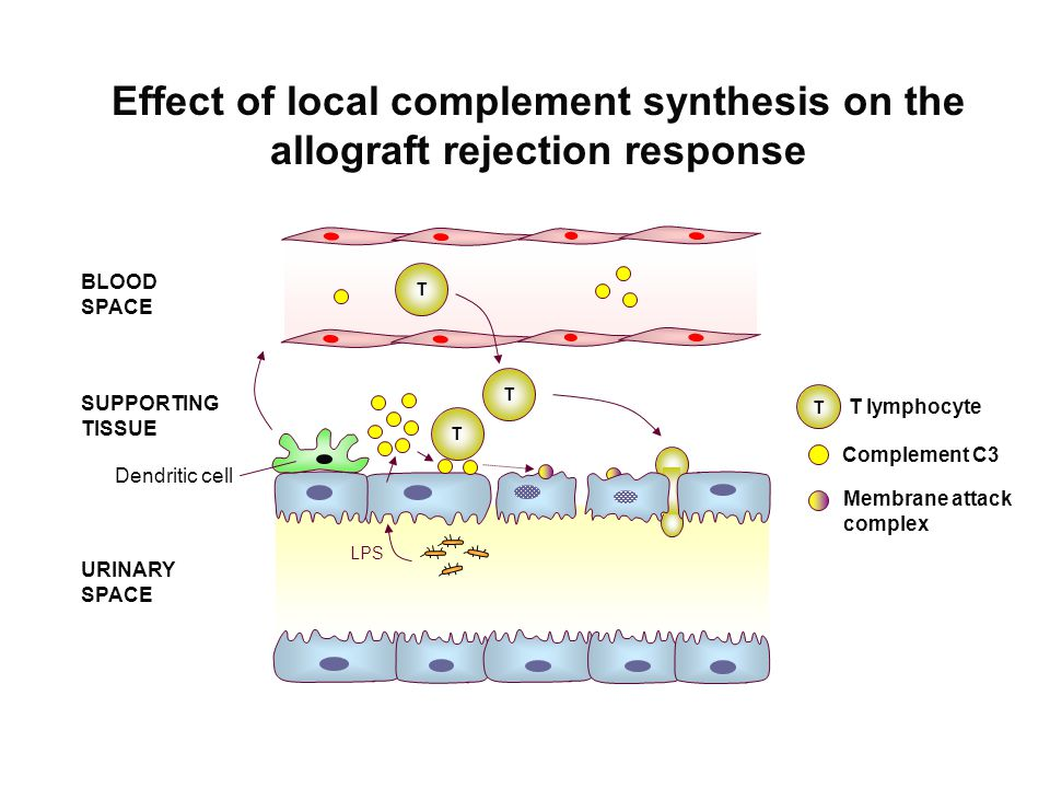 BLOOD SPACE SUPPORTING TISSUE URINARY SPACE T Complement C3 Membrane attack complex T T T T lymphocyte Effect of local complement synthesis on the allograft rejection response Dendritic cell LPS