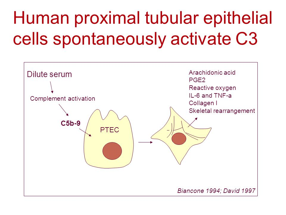 C5b-9 Complement activation Arachidonic acid PGE2 Reactive oxygen IL-6 and TNF-a Collagen I Skeletal rearrangement PTEC Biancone 1994; David 1997 Human proximal tubular epithelial cells spontaneously activate C3 Dilute serum