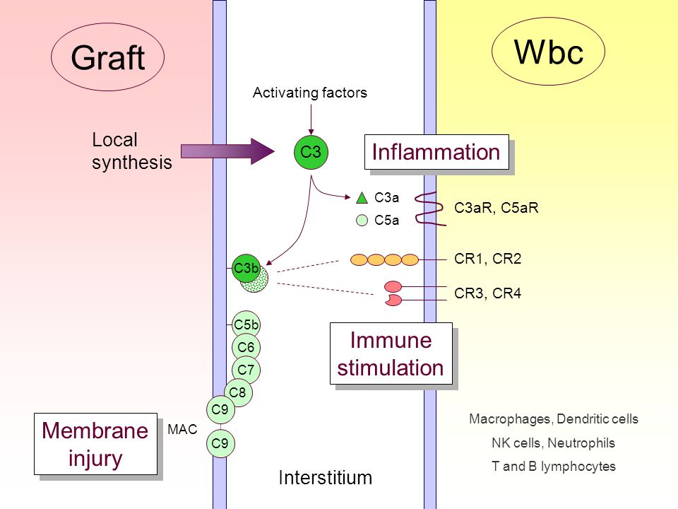 C3 C3b C3a C5a C5b C6 C7 C8 C9 MAC C3aR, C5aR Inflammation Membrane injury Membrane injury Activating factors Graft Interstitium Wbc Immune stimulation Immune stimulation CR1, CR2 CR3, CR4 Macrophages, Dendritic cells NK cells, Neutrophils T and B lymphocytes Local synthesis