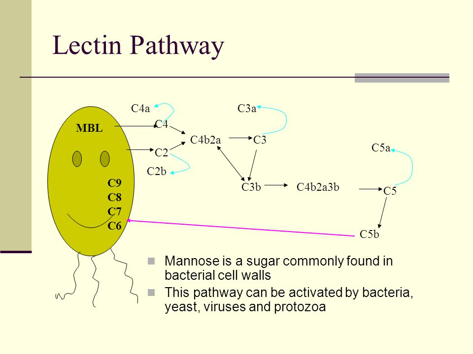 Lectin Pathway Mannose is a sugar commonly found in bacterial cell walls This pathway can be activated by bacteria, yeast, viruses and protozoa MBL C4 C2 C4a C2b C4b2aC3 C3a C3bC4b2a3b C5 C5a C5b C9 C8 C7 C6