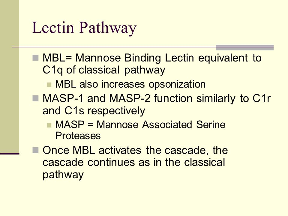 Lectin Pathway MBL= Mannose Binding Lectin equivalent to C1q of classical pathway MBL also increases opsonization MASP-1 and MASP-2 function similarly to C1r and C1s respectively MASP = Mannose Associated Serine Proteases Once MBL activates the cascade, the cascade continues as in the classical pathway
