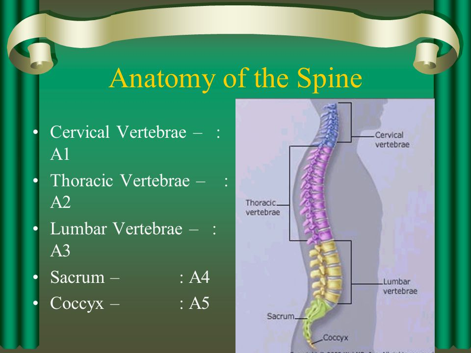 Muscles of the Spine – Deep Layer Semispinalis Thoracis: N Origin –T6 – T10 vertebrae transverse processes Insertion –C6 – C7 and T1 – T4 vertebrae spinous processes Action