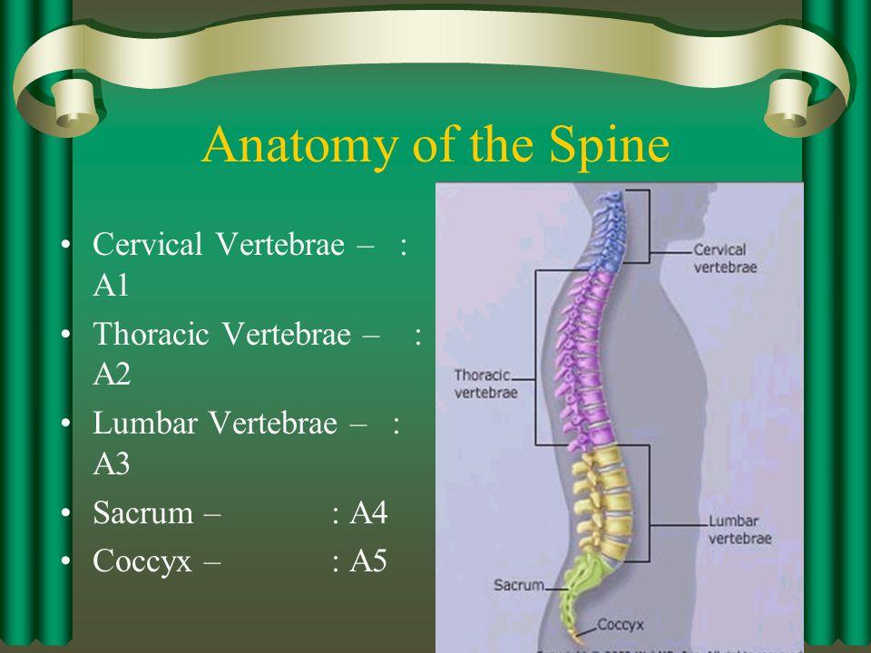 Cervical Vertebrae C1 – A C2 – B C3 C4 C5 C6 C7 C1 C2 C3 C4 C5 C6 C7