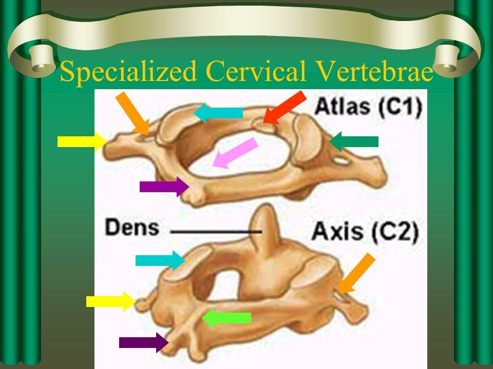 Typical Cervical Vertebrae (C3-C7)