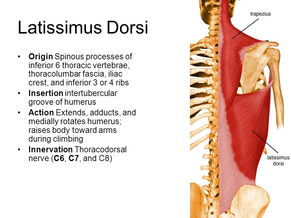 Latissimus Dorsi Origin Spinous processes of inferior 6 thoracic vertebrae, thoracolumbar fascia, iliac crest, and inferior 3 or 4 ribs Insertion inte