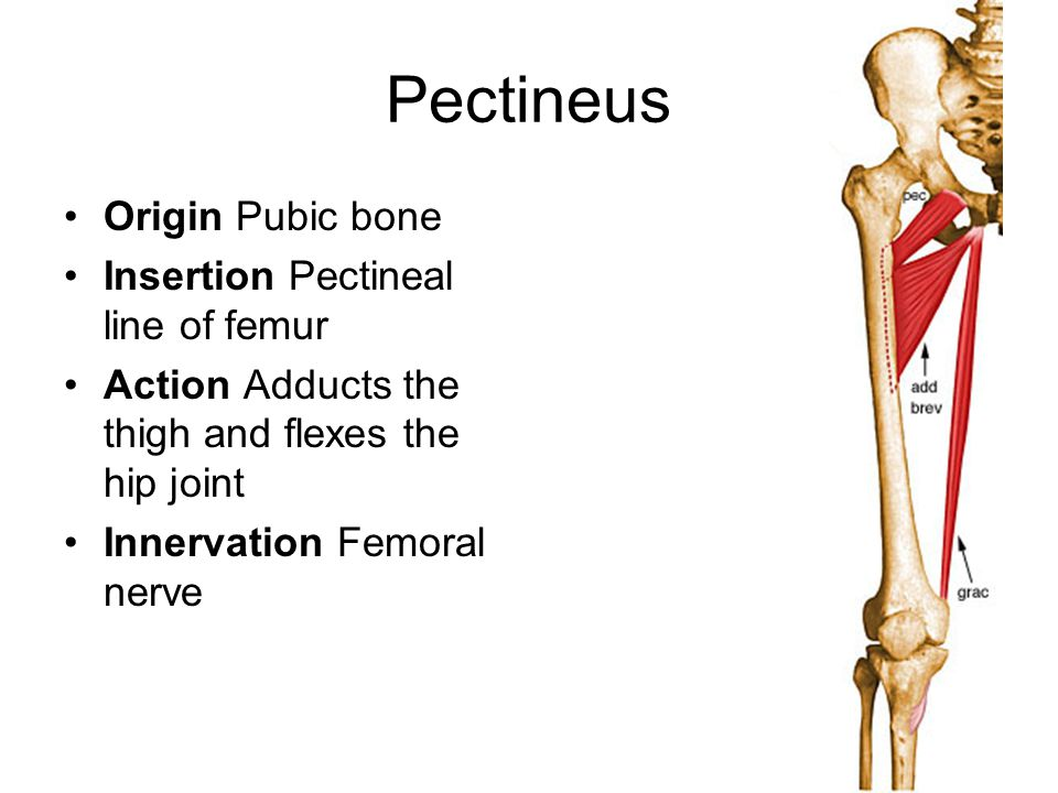 Pectineus Origin Pubic bone Insertion Pectineal line of femur Action Adducts the thigh and flexes the hip joint Innervation Femoral nerve