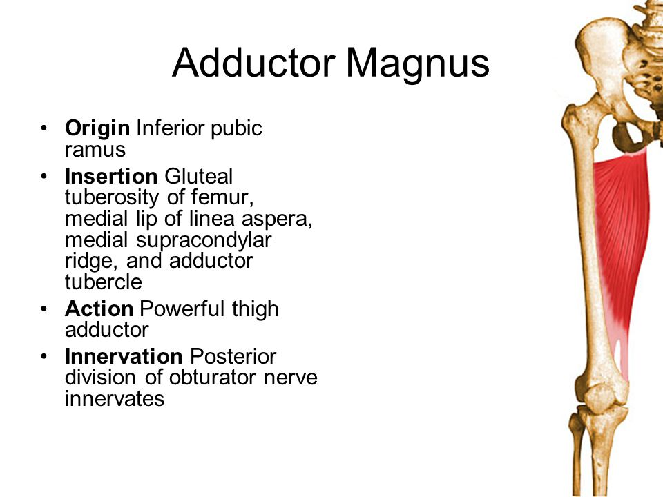 Adductor Magnus Origin Inferior pubic ramus Insertion Gluteal tuberosity of femur, medial lip of linea aspera, medial supracondylar ridge, and adducto