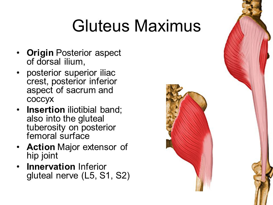 Gluteus Maximus Origin Posterior aspect of dorsal ilium, posterior superior iliac crest, posterior inferior aspect of sacrum and coccyx Insertion ilio