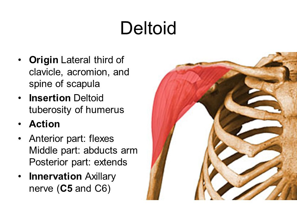 Deltoid Origin Lateral third of clavicle, acromion, and spine of scapula Insertion Deltoid tuberosity of humerus Action Anterior part: flexes Middle p