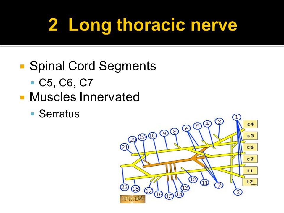  Spinal Cord Segments  C5, C6, C7  Muscles Innervated  Serratus