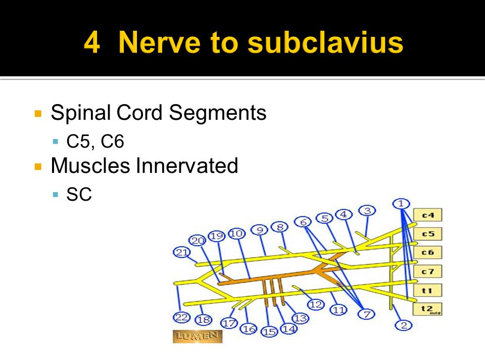  Spinal Cord Segments  C5, C6  Muscles Innervated  SC