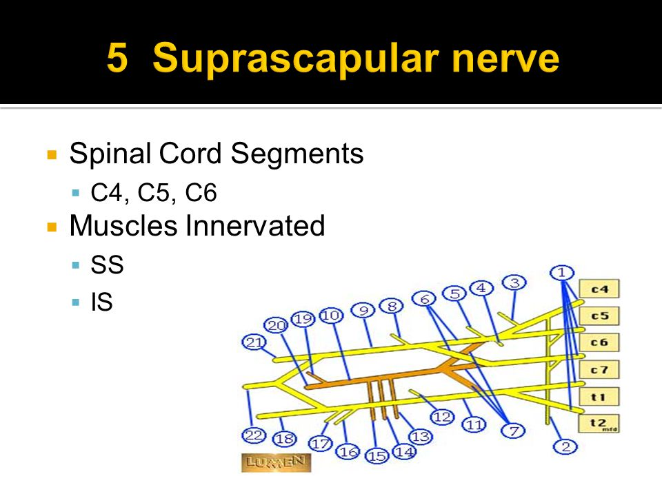  Spinal Cord Segments  C4, C5, C6  Muscles Innervated  SS  IS