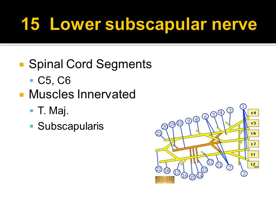  Spinal Cord Segments  C5, C6  Muscles Innervated  T. Maj.  Subscapularis