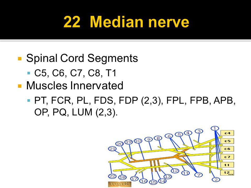  Spinal Cord Segments  C5, C6, C7, C8, T1  Muscles Innervated  PT, FCR, PL, FDS, FDP (2,3), FPL, FPB, APB, OP, PQ, LUM (2,3).