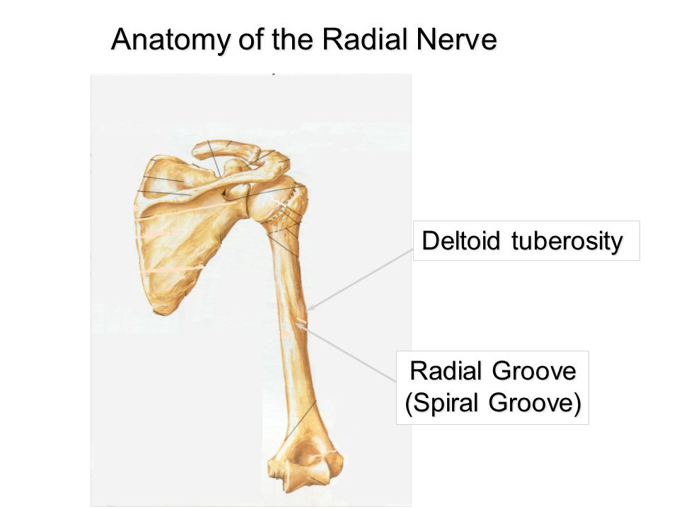 Anatomy of the Radial Nerve Deltoid tuberosity Radial Groove (Spiral Groove)