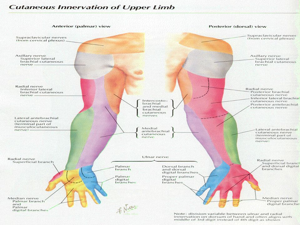  Spinal Cord Segments  C5, C6, C7, C8, T1  Muscles Innervated  Triceps, Anconeous, BR, Brachialis, ECRL