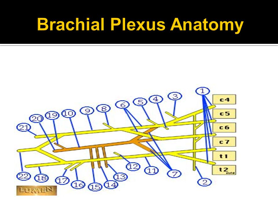  Spinal Cord Segments  C5, C6, C7  Muscles Innervated  BB, CB, Brachialis