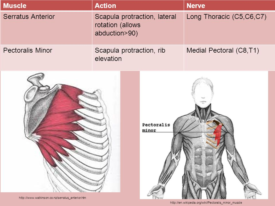 MuscleActionNerve Flexor Carpi UlnarisHand: Flexion, AdductionUlnar (C8,T1) Median (C6,C7,C8,T1) Palmaris LongusHand: FlexionMedian Flexor Carpi RadialisHand: Flexion, AbductionMedian Pronator TeresForearm: PronationMedian http://en.wikipedia.org/wiki/File:Gray414.png