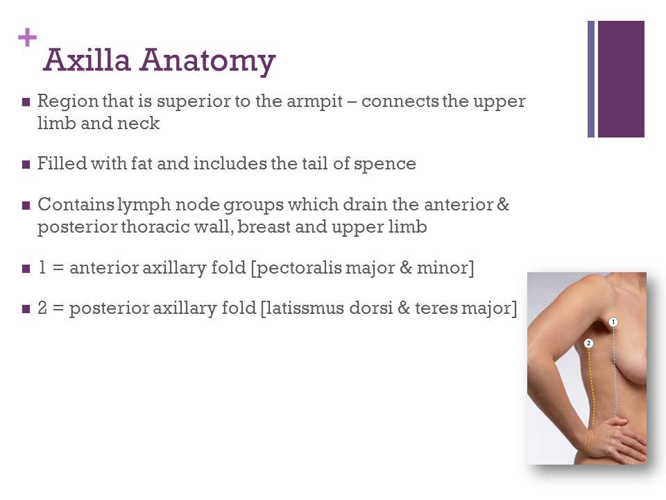 + Axillary Lymph Groups & Vasculature