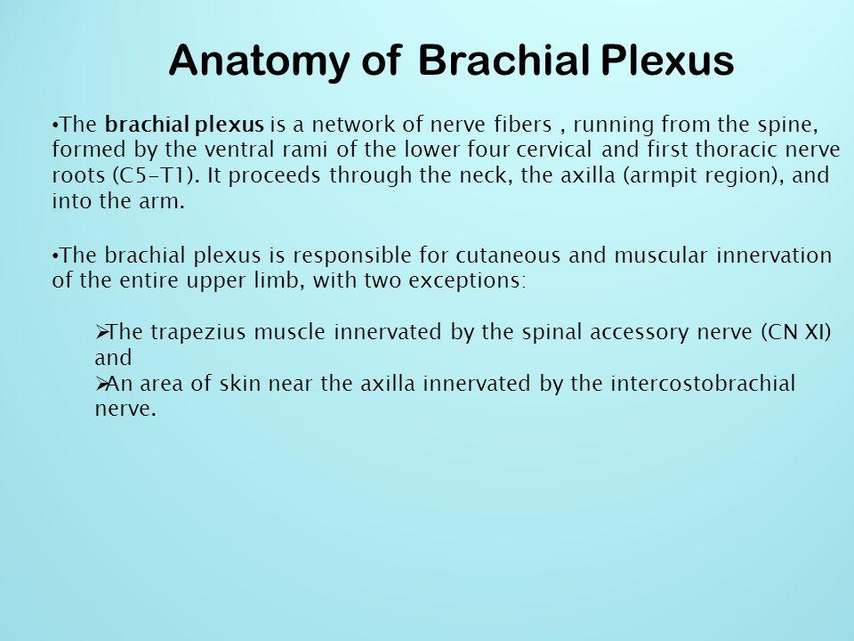 Anatomy of Brachial Plexus The brachial plexus is divided into Trunks Cords Devisions Branches Roots