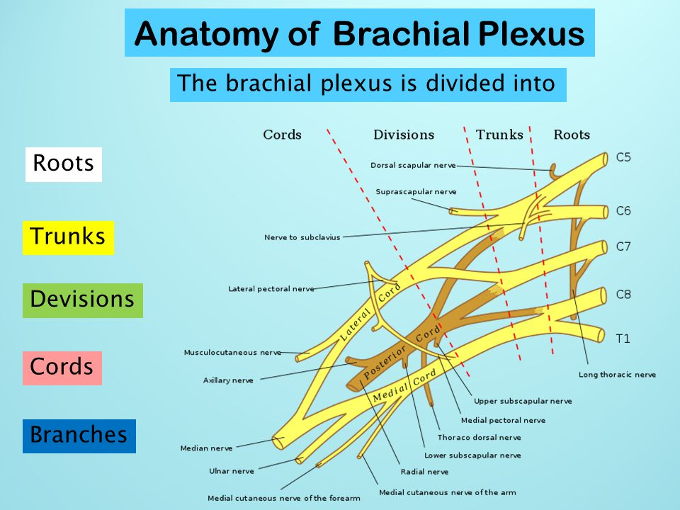 The brachial plexus is divided into Roots, Trunks, Divisions, Cords, and Branches.