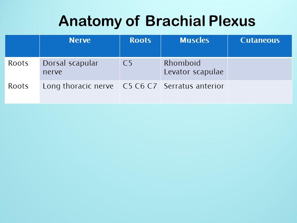 Anatomy of Brachial Plexus NerveRootsMusclesCutaneous Upper Trunk Nerve to subclaviusC5 C6Subclavious Upper Trunk Suprascapular nerveC5 C6Supraspinatous Infraspinatous