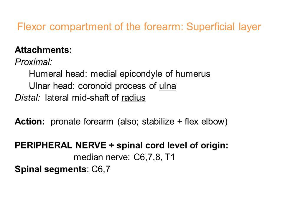 Flexor carpi radialis (FCR)