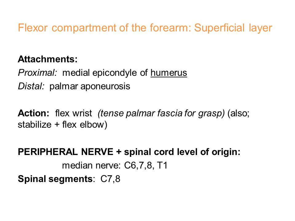 Extensor carpi radialis longus (ECRL)