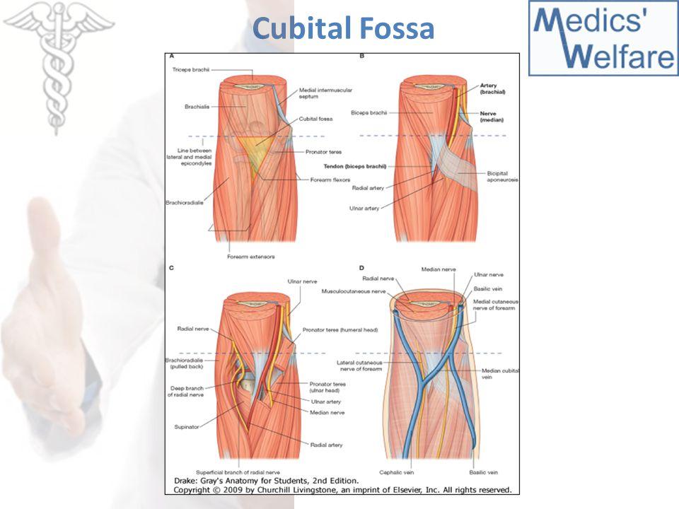 Cubital Fossa