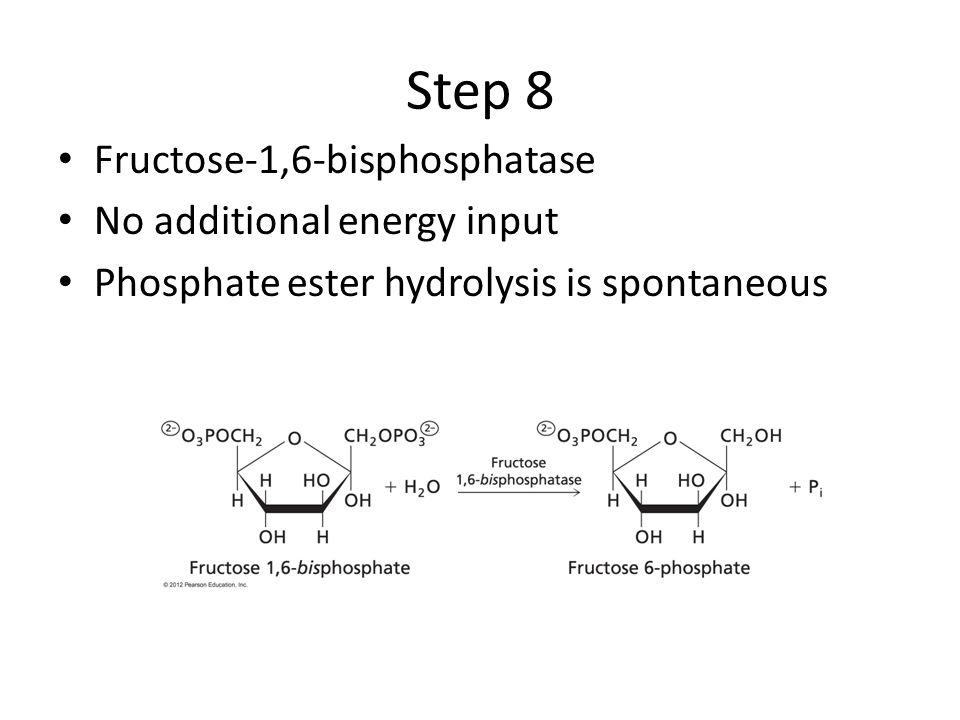 Step 8 Fructose-1,6-bisphosphatase No additional energy input Phosphate ester hydrolysis is spontaneous