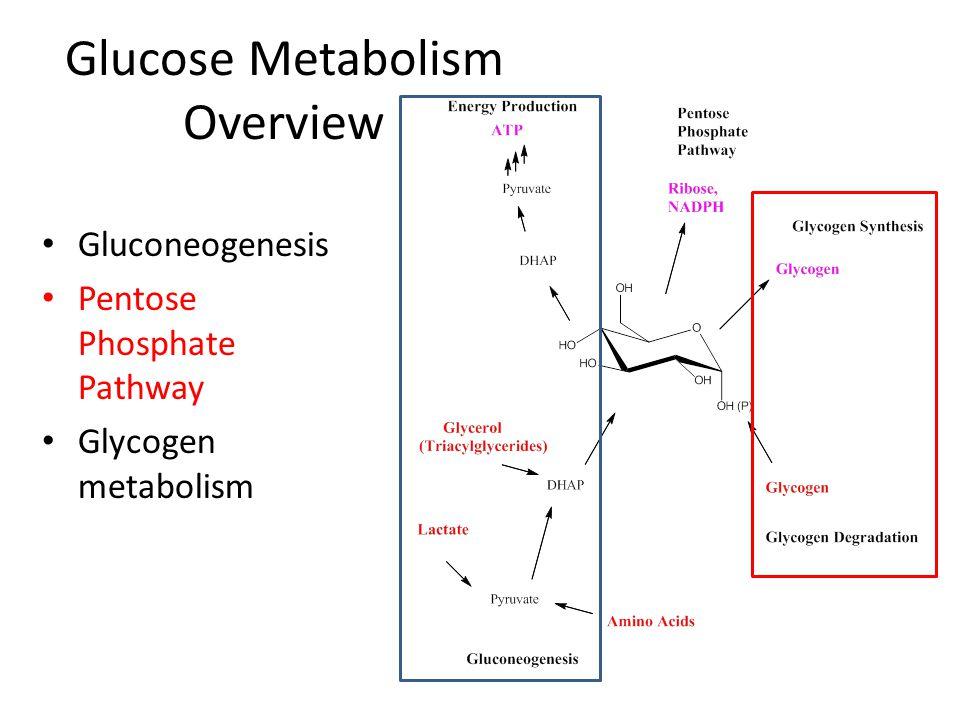 Glucose Metabolism Overview Gluconeogenesis Pentose Phosphate Pathway Glycogen metabolism