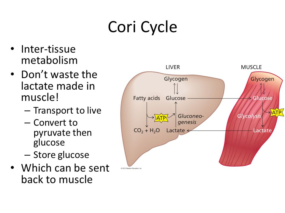 Cori Cycle Inter-tissue metabolism Don't waste the lactate made in muscle.