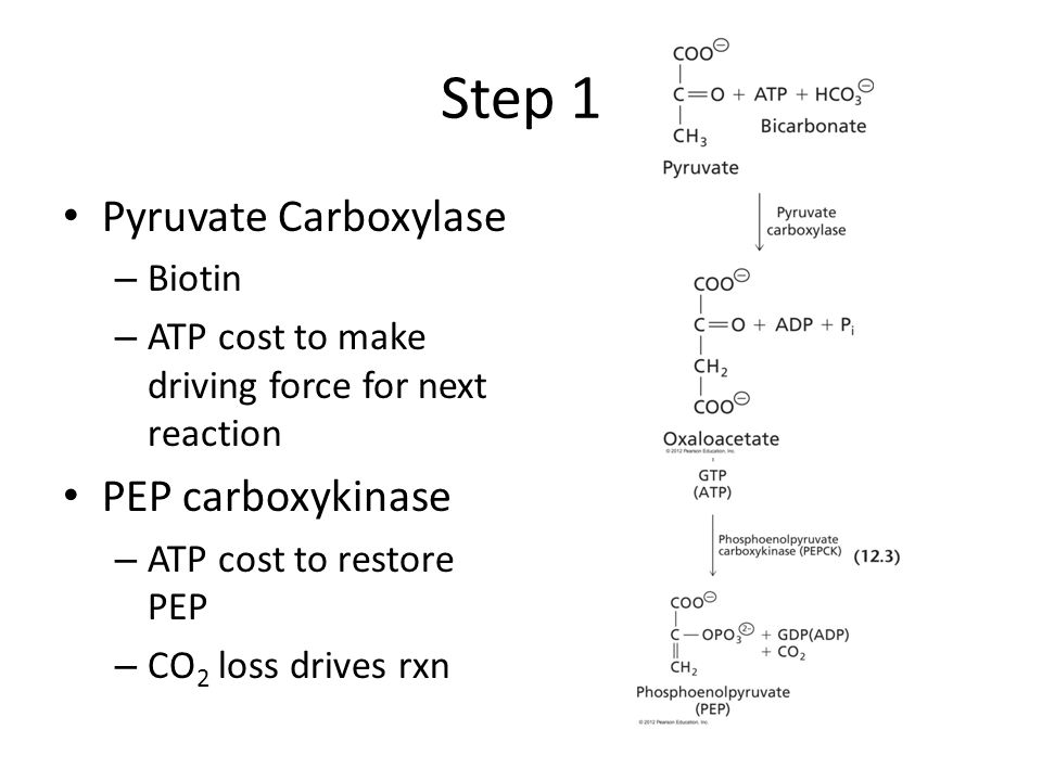 Step 1 Pyruvate Carboxylase – Biotin – ATP cost to make driving force for next reaction PEP carboxykinase – ATP cost to restore PEP – CO 2 loss drives rxn