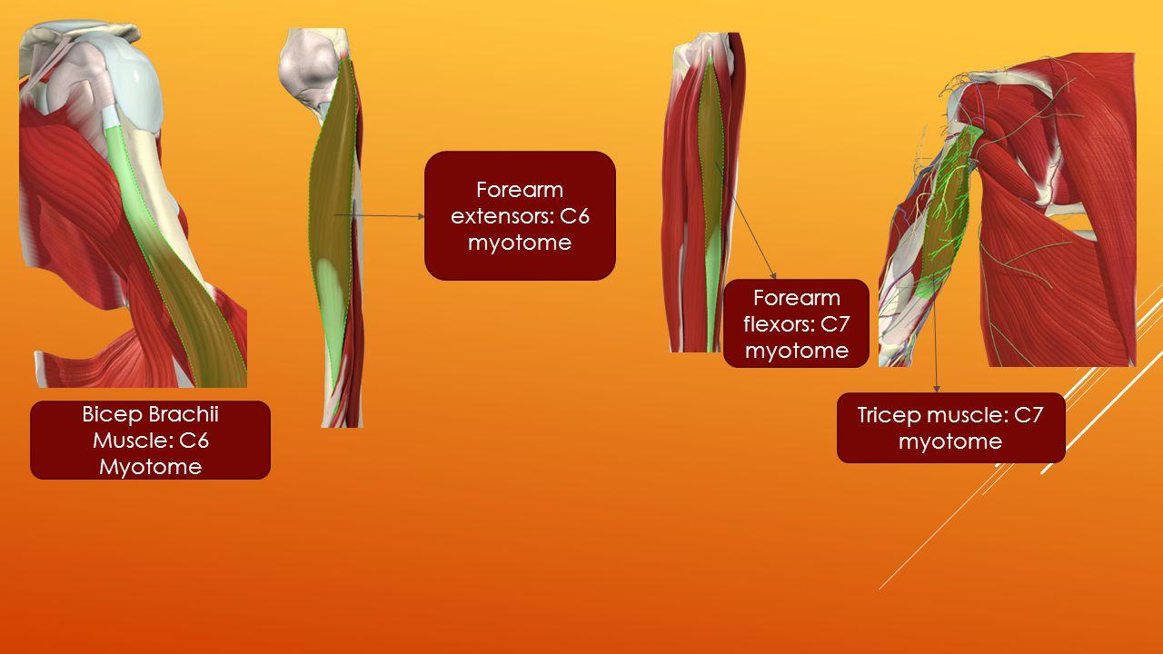 Bicep Brachii Muscle: C6 Myotome Forearm extensors: C6 myotome Forearm flexors: C7 myotome Tricep muscle: C7 myotome