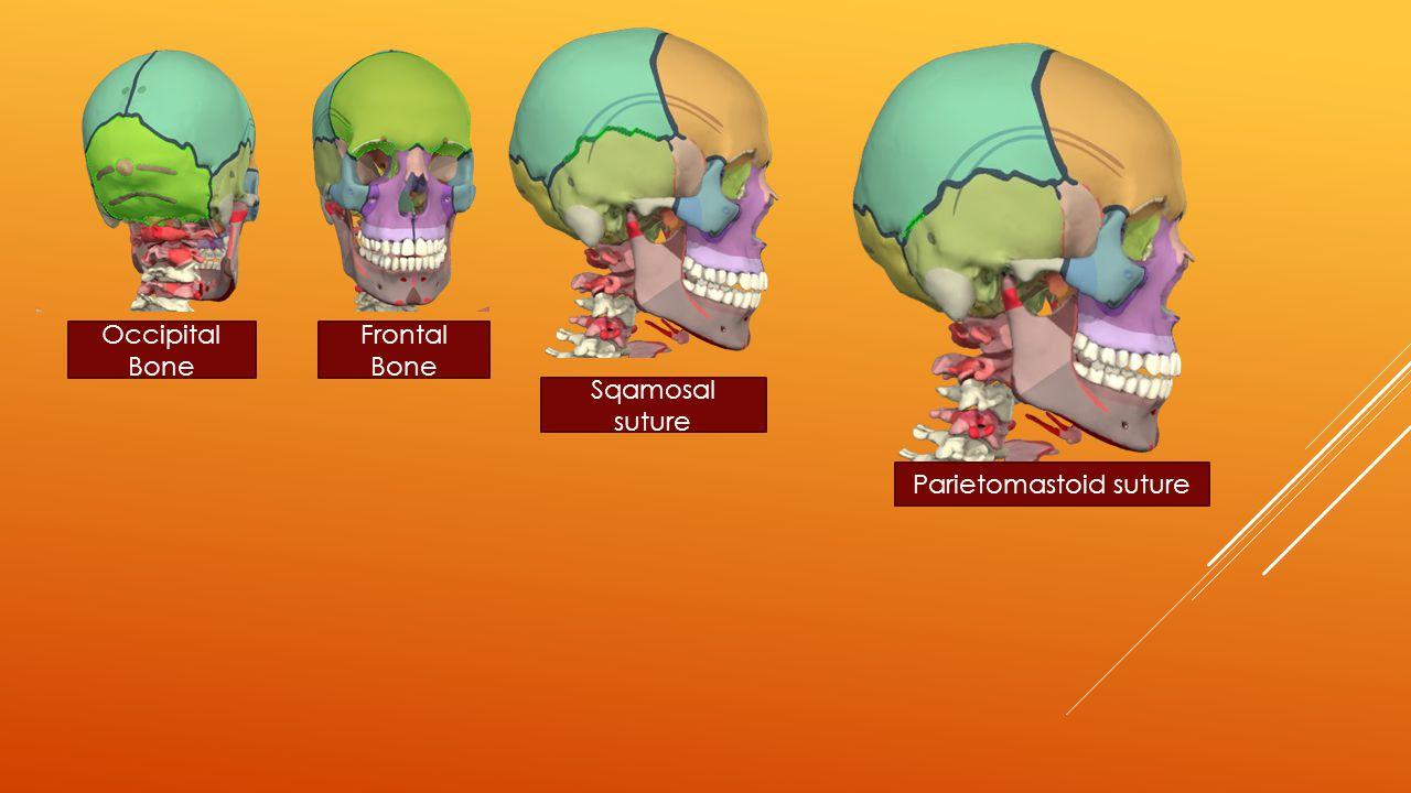 Occipital Bone Frontal Bone Sqamosal suture Parietomastoid suture