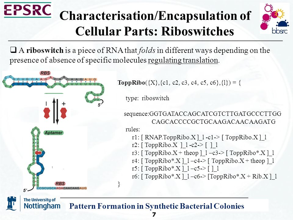 A P System Modelling Framework for Systems and Synthetic Biology 7 Characterisation/Encapsulation of Cellular Parts: Riboswitches  A riboswitch is a piece of RNA that folds in different ways depending on the presence of absence of specific molecules regulating translation.