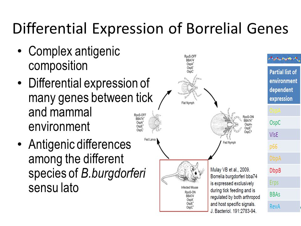Differential Expression of Borrelial Genes Complex antigenic composition Differential expression of many genes between tick and mammal environment Antigenic differences among the different species of B.burgdorferi sensu lato